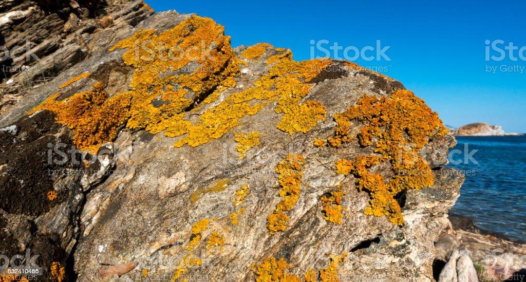 Dried yellow plants on rock in Aynoroz , Halkidiki, Greece.
