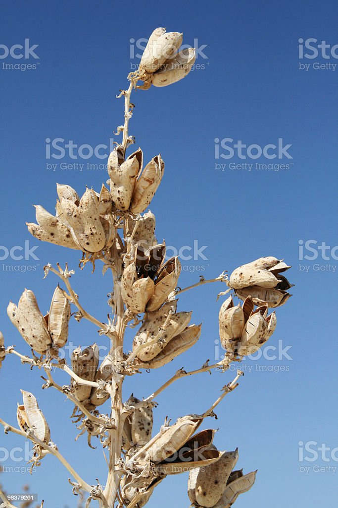 Dried yucca seeds royalty-free stock photo