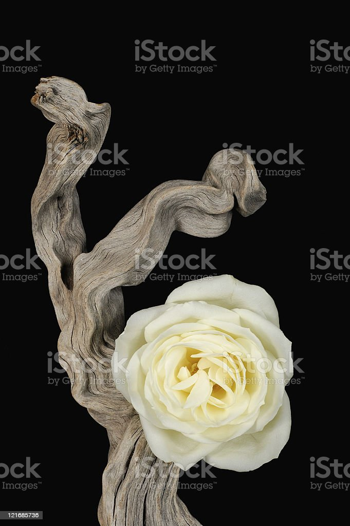 Driftwood and Rose royalty-free stock photo