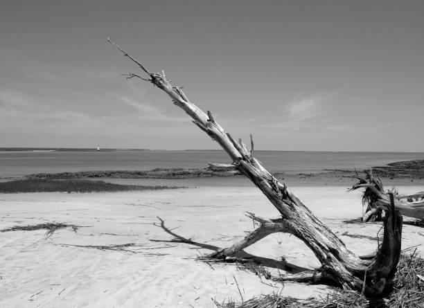 Driftwood on Tybee Island stock photo