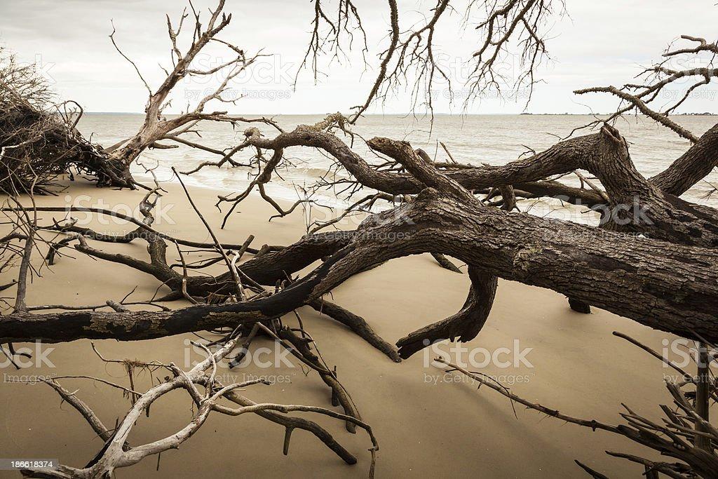 Driftwood Trees royalty-free stock photo