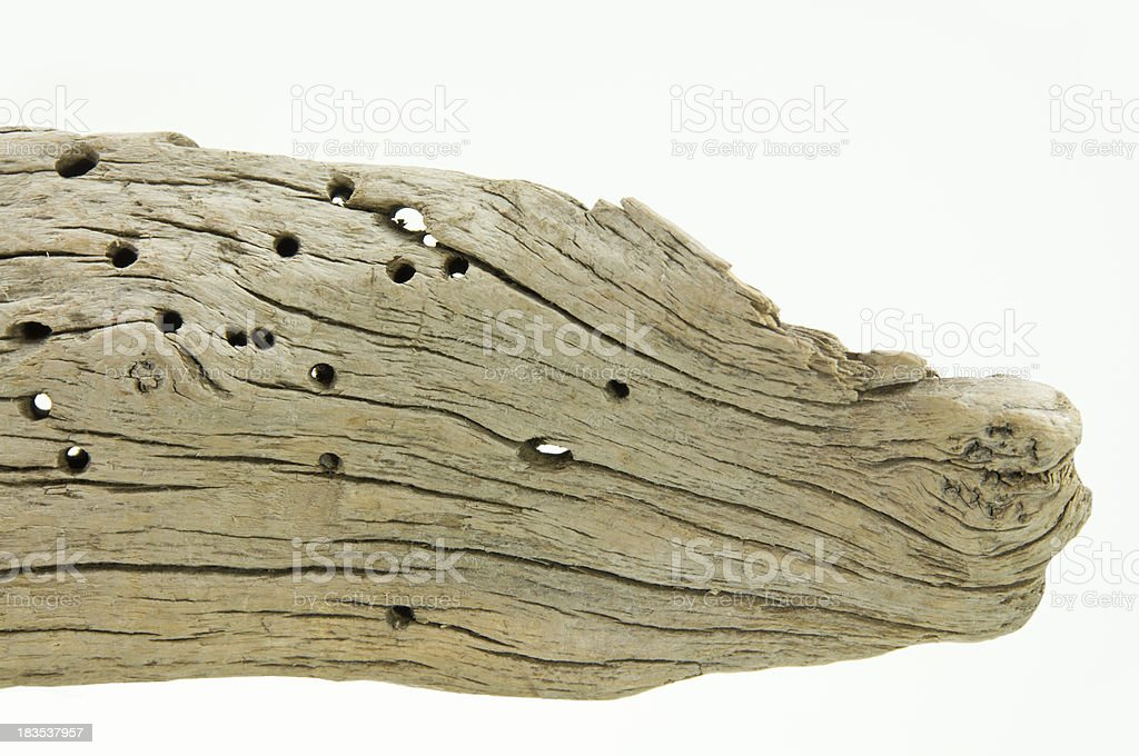 Driftwood with Worm Holes on White royalty-free stock photo