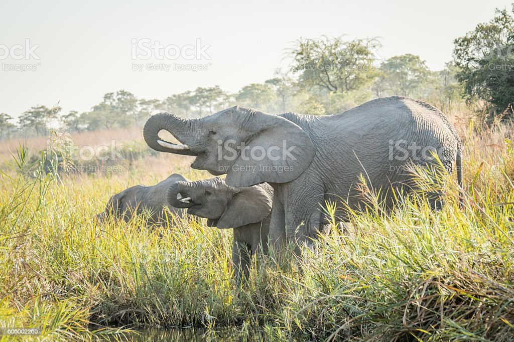 Drinking african Elephants. stock photo