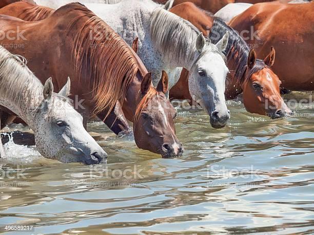Drinking arabian mares in the lake sunny day picture id496589217?b=1&k=6&m=496589217&s=612x612&h=sbfja 2imhsdc23r1 xeqwyd457salmsawuemptjkz0=