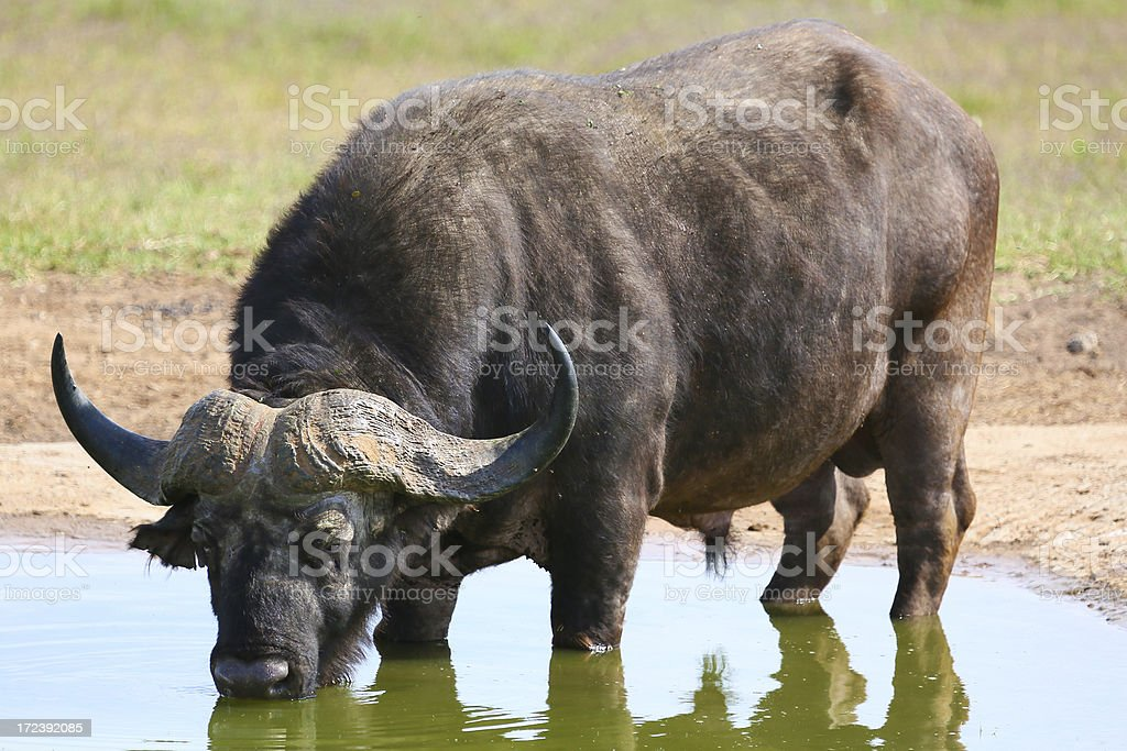 Drinking buffalo in water hole royalty-free stock photo