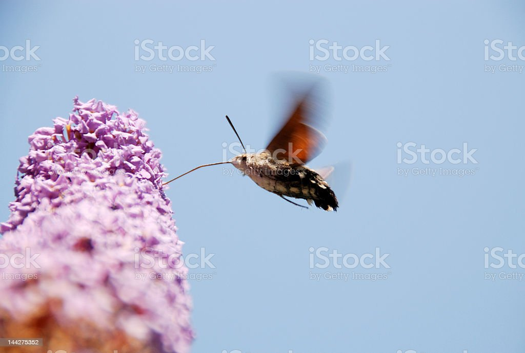 Drinking butterfly royalty-free stock photo