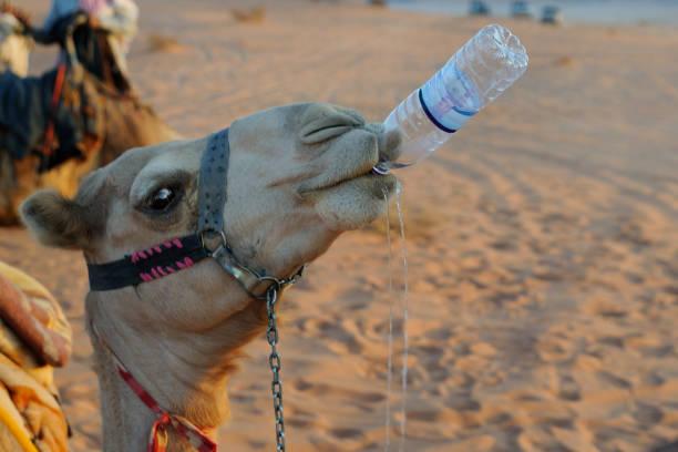 喝駱駝 - 口渴 個照片及圖片檔