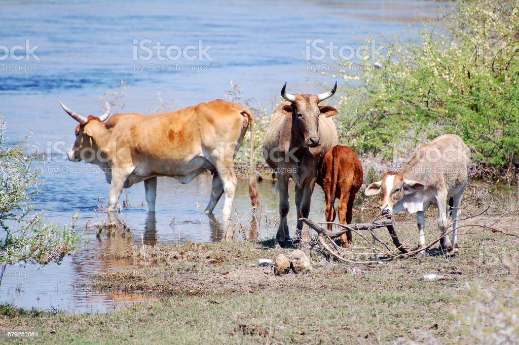 Drinking Cattle at a waterhole in Namibia stock photo