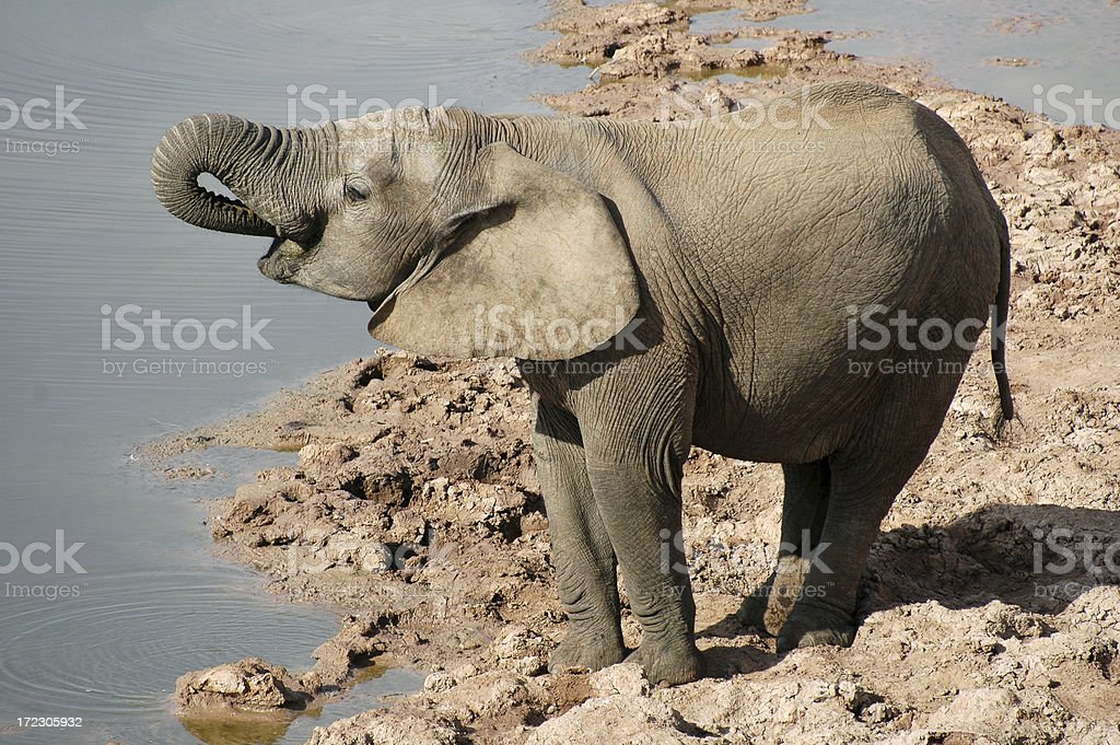 Drinking Elephant royalty-free stock photo