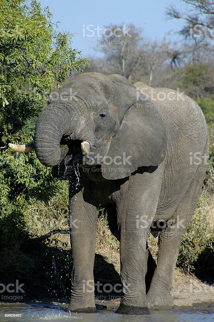 Drinking Elephant royalty-free stock photo