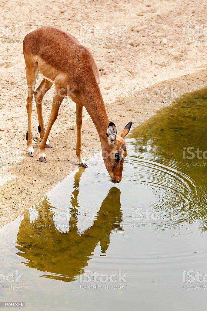 Drinking gazelle stock photo