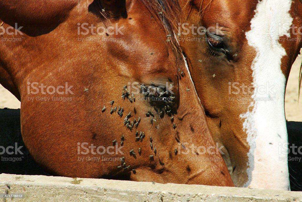 Drinking horses with many fly's royalty-free stock photo