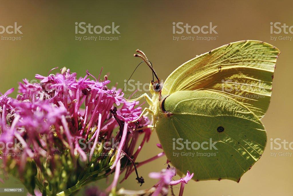 Drinking Nectar stock photo