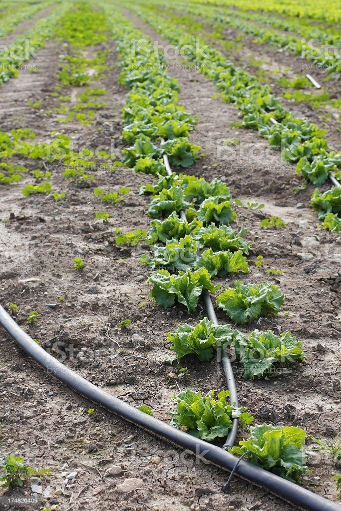 Drip Irrigation of vegetable field in Israel stock photo