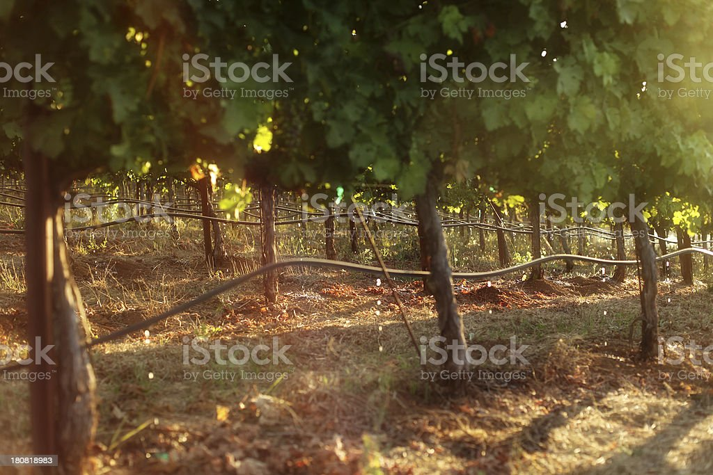 Drip Irrigation on Grapevines in Commercial Vineyard stock photo
