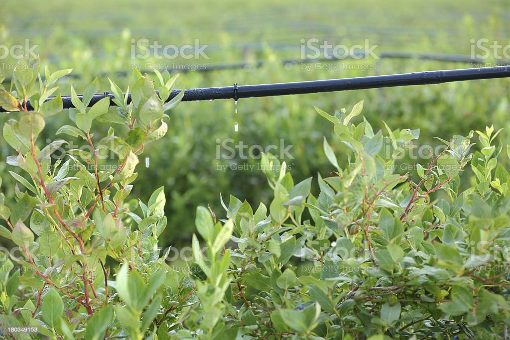 Drip Irrigation System, Bluberry Bushes stock photo