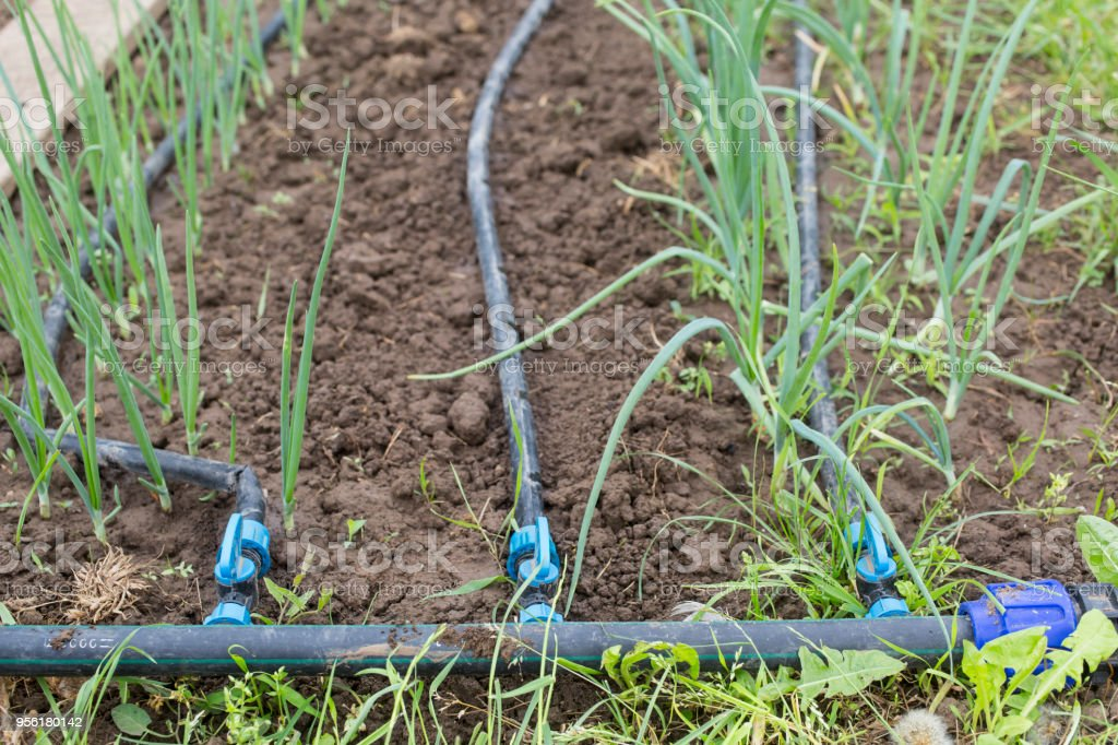 Drip Irrigation System Close Up Water Saving Drip Irrigation