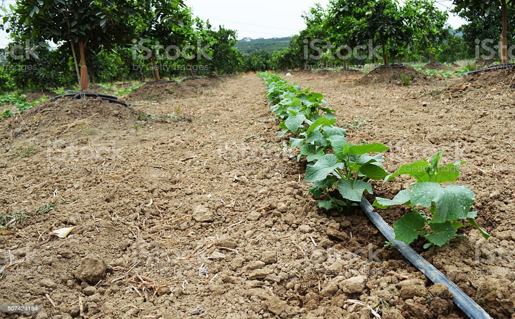 Drip irrigation system in the cucmber farm stock photo