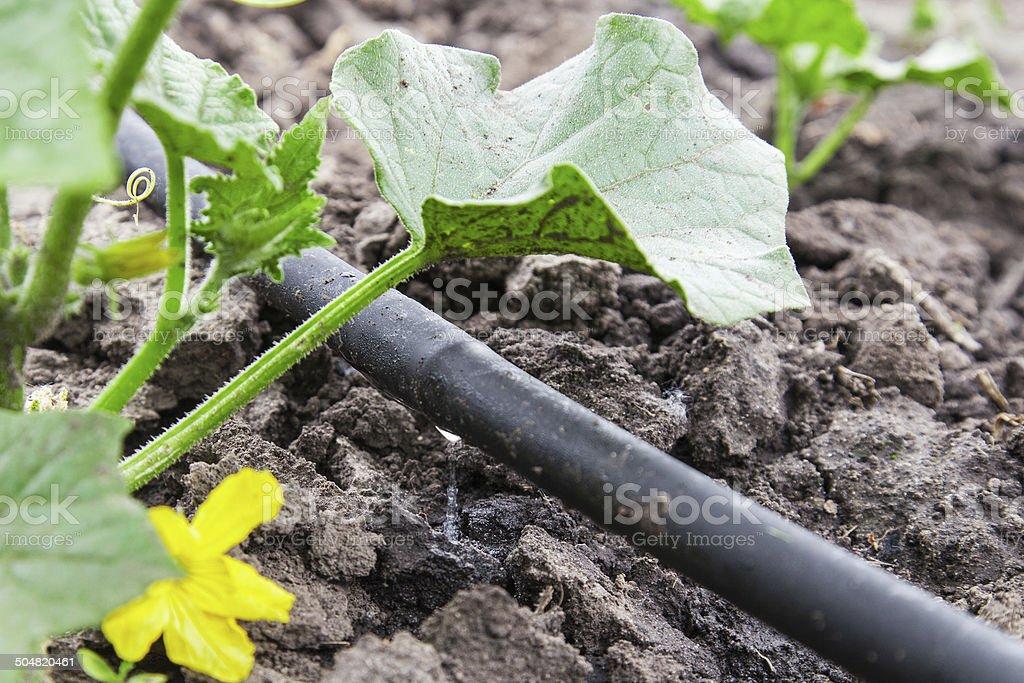 Drip irrigation system stock photo