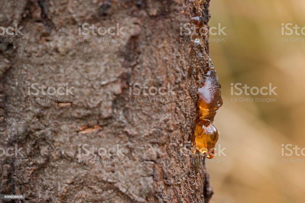 Dripping sap, natural gum tree resin on bark with blurred yellow background, Tasmania, Australia stock photo