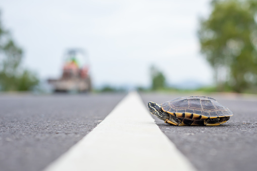 Close up turtle crossing the road. Driver stop the car to let turtle walking on the road. Safety and be careful driving concept