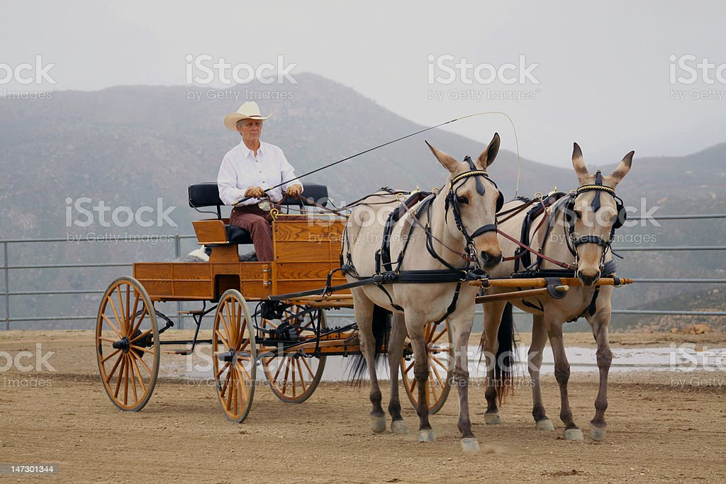 Driving Carriage with Two Mules royalty-free stock photo