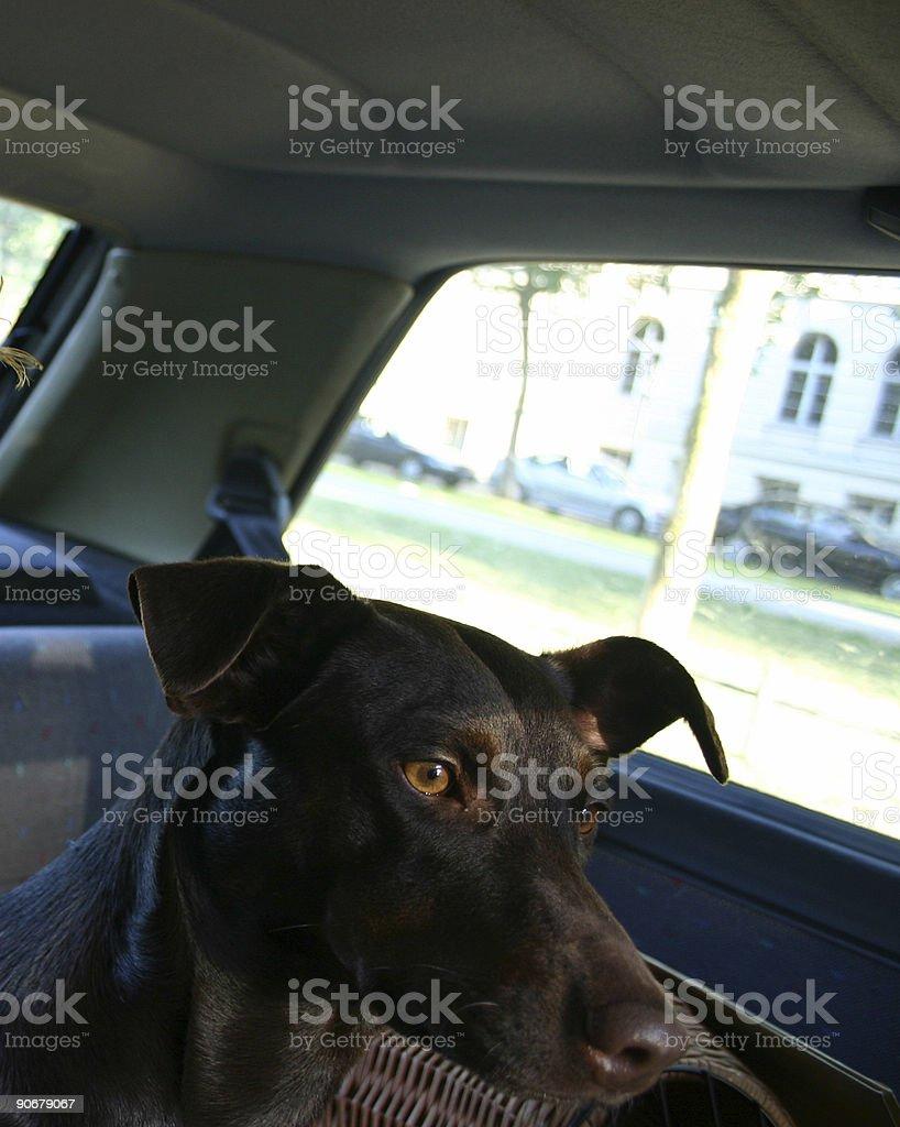 Driving Dog royalty-free stock photo