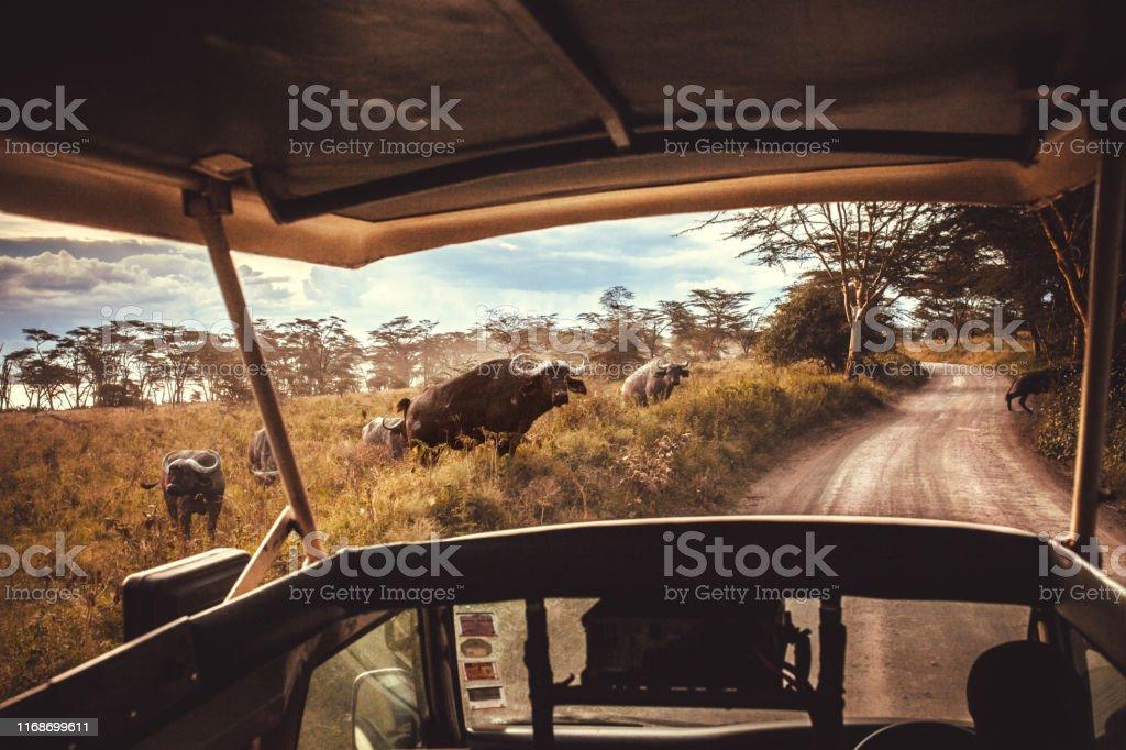 driving safari cars on the savannah in Masai mara, Africa