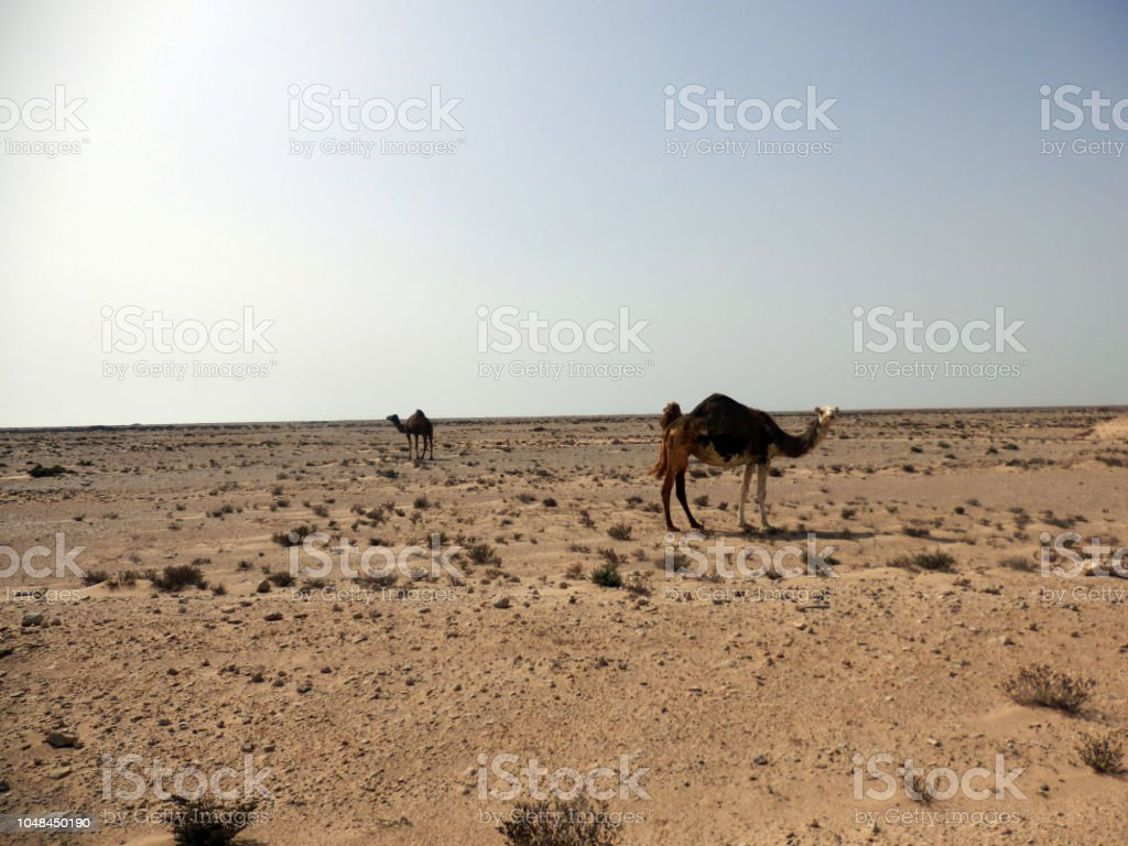 Dromedaries in Western Sahara plateaus, near Dakhla