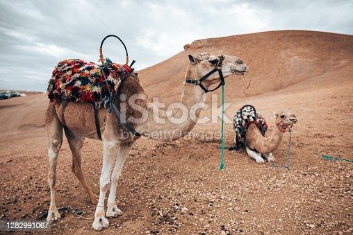 dromedary at the sahara desert