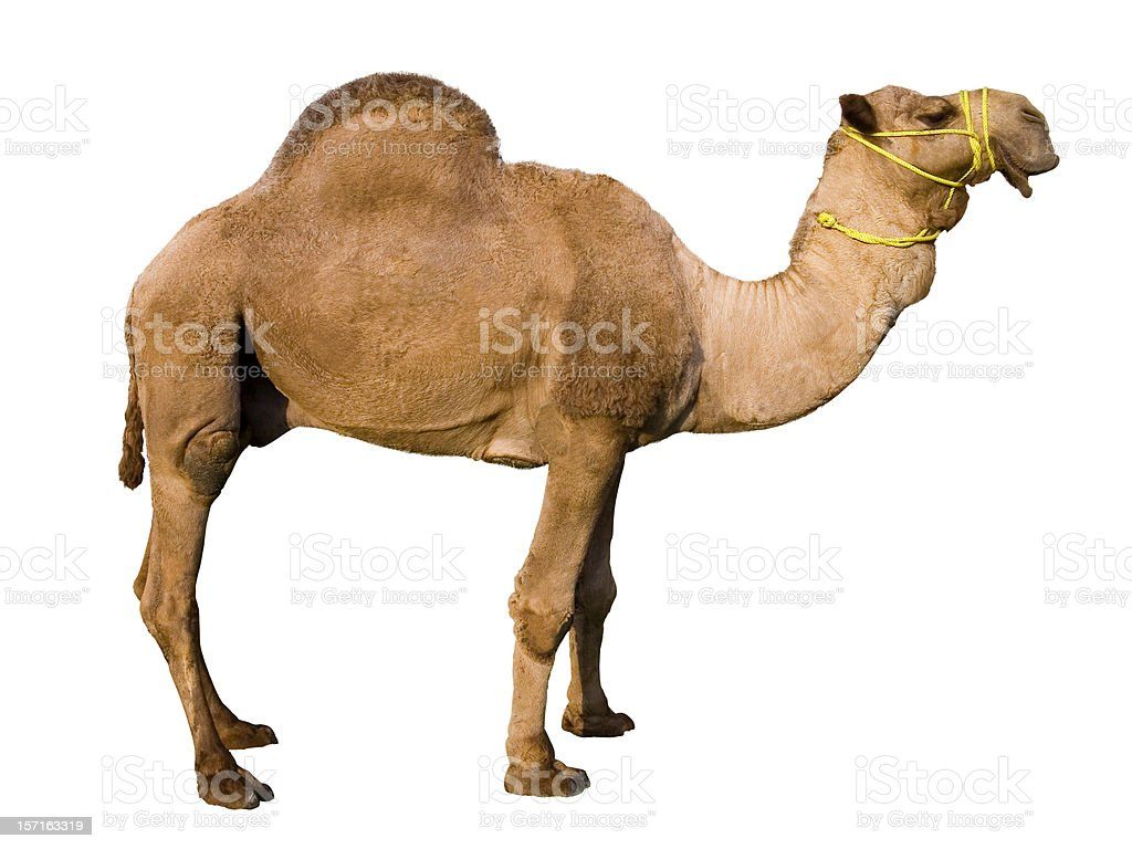 Dromedary Camel (Isolated) royalty-free stock photo