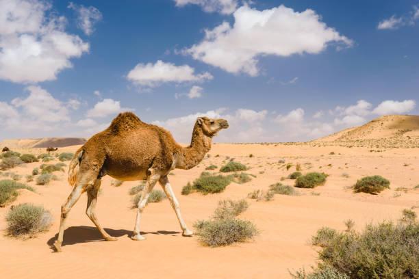 dromedar kamel gehen in der wüste, wadi draa, tan - tan, moro - afrikanische steppe dürre stock-fotos und bilder