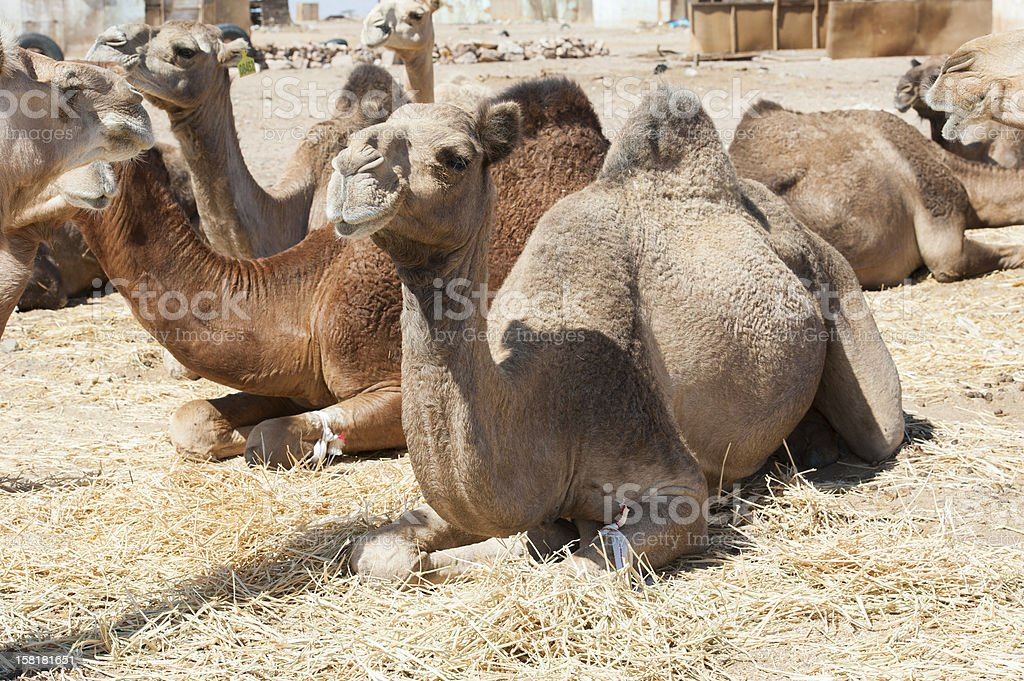 Dromedary camels at an African market royalty-free stock photo