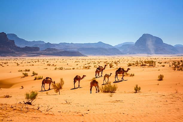 dromadaire de chameaux dans le désert wadi rum, jordanie - jordan photos et images de collection