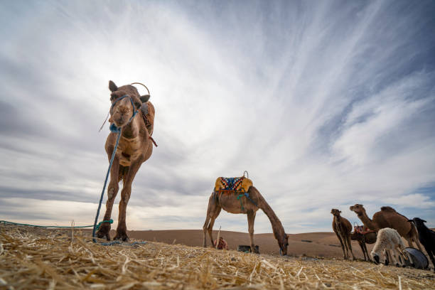 Dromedare Kamele auf Agafay Wüste , Marrakesch, Marokko – Foto