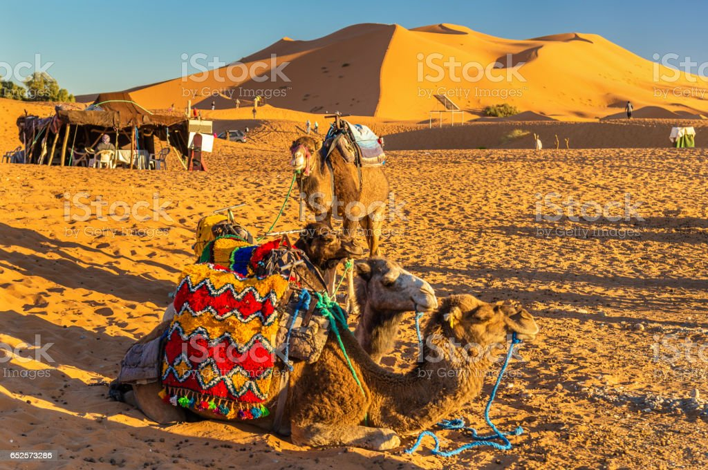 Dromedary camels resting at Erg Chebbi dunes of Sahara desert. Merzouga, Morocco stock photo