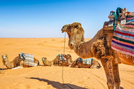 Dromedary in the Sahara desert of Ksar Ghilane erg (Tunisia), waiting of Tourists.