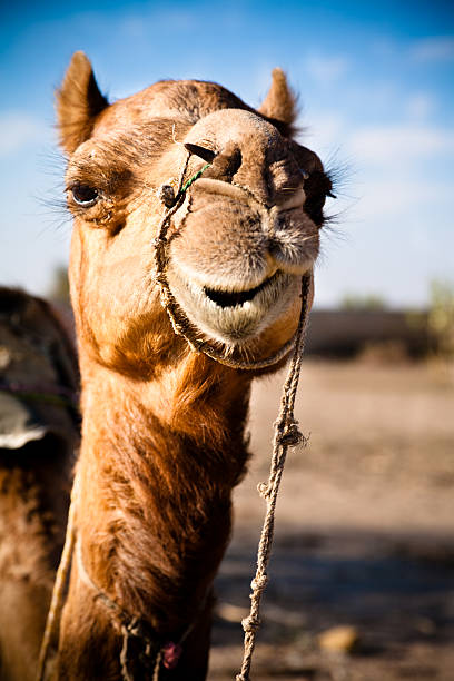 Dromedary Portrait stock photo