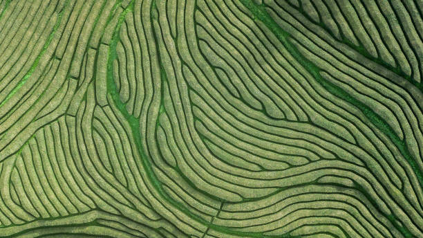 Drone aerial view of the oldest tea plantation in Europe at Gorreana farm field in Sao Miguel sland, Azores, Portugal stock photo