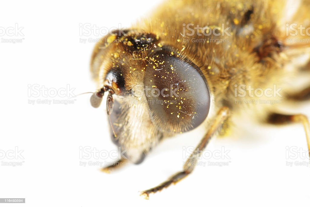 Drone fly extreme macro stock photo