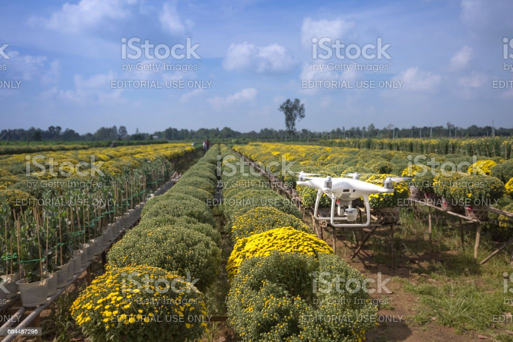 Drone flycam and yellow daisy field at Sa Dec flower village. Dong Thap province, Vietnam stock photo