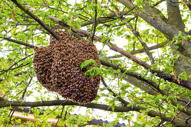 Dzwonka pszczół  – zdjęcie