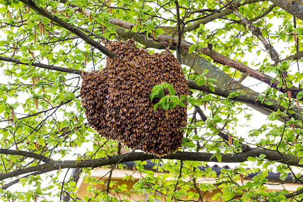 Drone of bees stock photo
