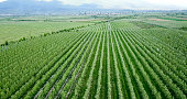 drone photography,aerial view of orchards in resen, prespa, macedonia,image