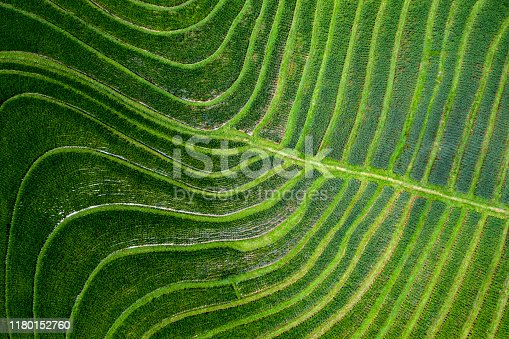 Aerial view and directly above of some unspoiled rice paddy fields in Bali in Indonesia. The terraced fields by its natural beauty creates waves of shapes and green colors.