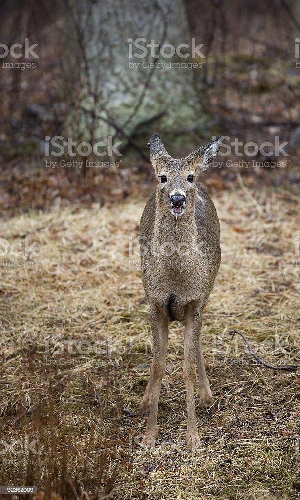 drooling doe royalty-free stock photo
