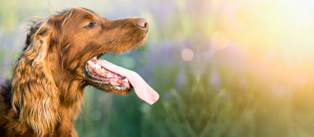 Drooling dog banner Website banner of a drooling Irish Setter dog as panting in a hot Summer animal saliva stock pictures, royalty-free photos & images