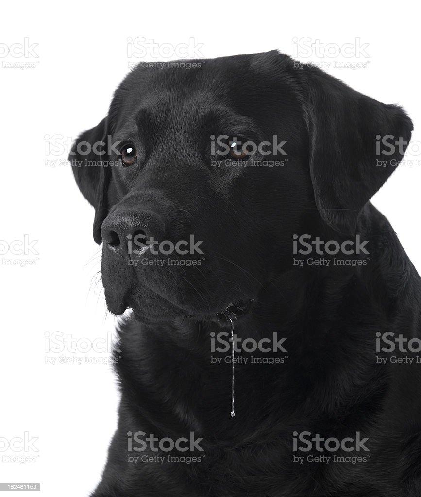 Drooling dog | black labrador retriever stock photo