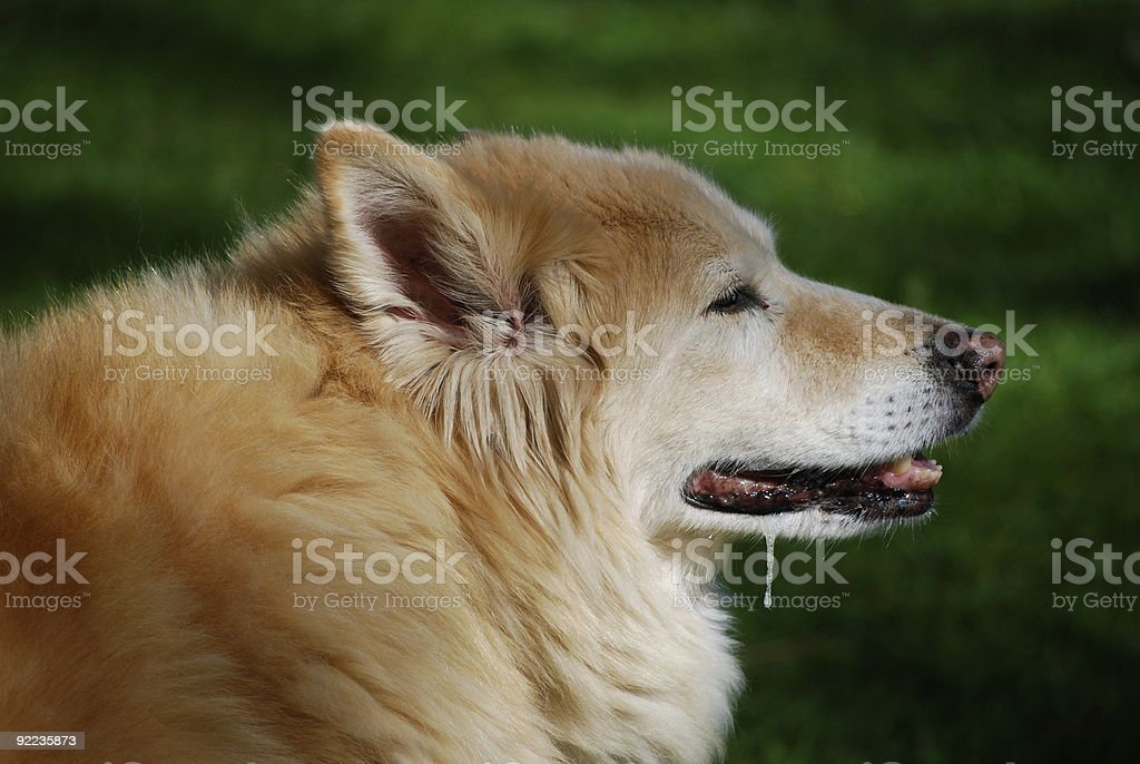 drooling dog stock photo
