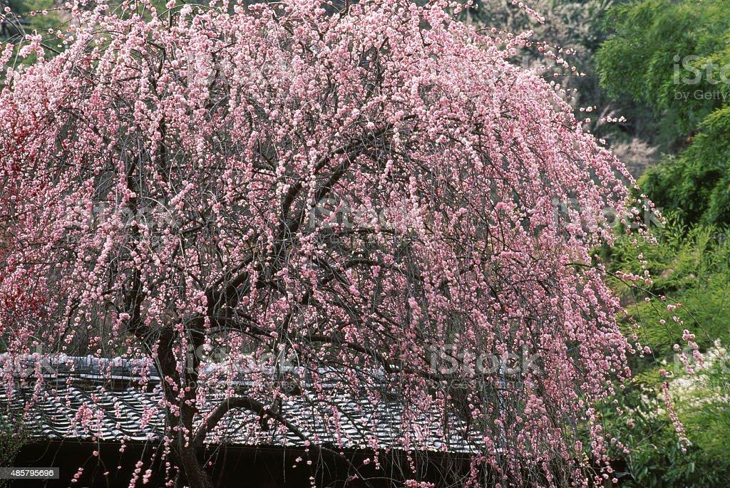 Droop plum stock photo